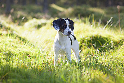 Dog standing in grassy field during sunny day - p301m1534948 by Isabella Ståhl