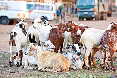Ziegenherde in Afrika - p5330271 von Böhm Monika