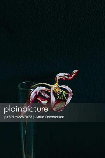 Tulip - p1621m2257973 by Anke Doerschlen