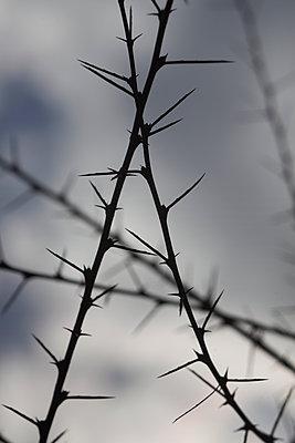 Long-Stalked Peashrub spikes (Caragana brevispina) - p1028m2248718 by Jean Marmeisse