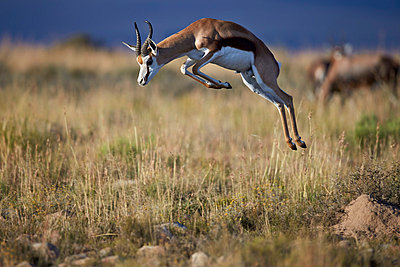 Springbok  buck springing or jumping, Mountain Zebra National Park, South Africa, Africa - p871m1056787f by James Hager