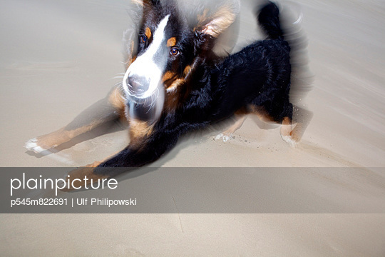 Bernese mountain dog - p545m822691 by Ulf Philipowski