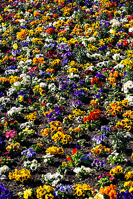 Colourful flowers - p1515m2093189 by Daniel K.B. Schmidt