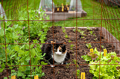 Cat resting in garden, Halifax, NovaÂ_Scotia, Canada - p343m2025996 by Joseph De Sciose