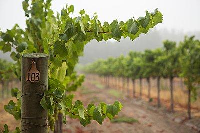 Rows of grapevines in vineyard, Sebastapol, California, USA - p429m1095346f by Nancy Honey