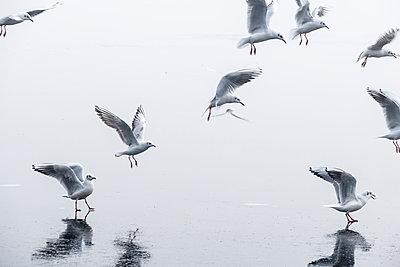Seagulls - p739m1104195 by Baertels