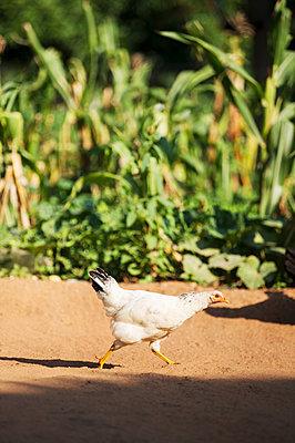 Chicken - p1167m2273417 by Maria Schiffer