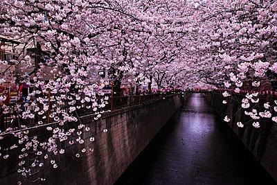 Cherry blossoms blooming downtown Tokyo - p307m2154220 by Keitaro Yonehara