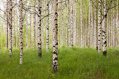 Birkenwald - p362m1541415 von André Wagner