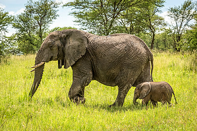 African elephant (Loxodonta africana) and calf walk through clearing, Serengeti National Park; Tanzania - p442m2111537 by Nick Dale