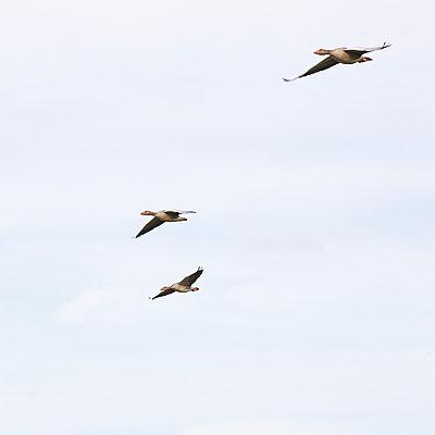 Wildgänse im Flug - p606m890810 von Iris Friedrich