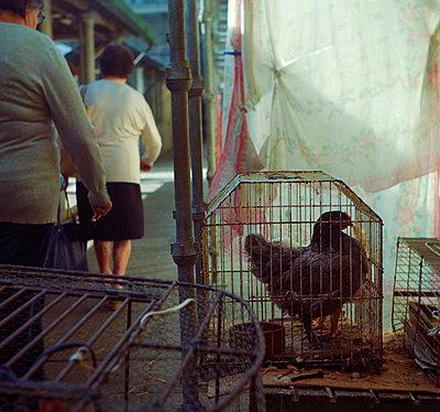 Huhn im Käfig - p858m1508338 von Lucja Romanowska