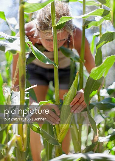 Woman harvesting corn - p312m2119135 by Johner