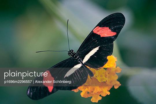 Butterfly on a flower - p1696m2296557 by Alexander Schönberg