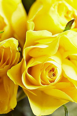 Detail of yellow roses - p3493783 by Jan Baldwin