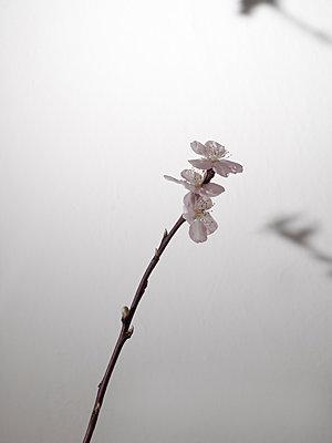 Pfirsichblüte - p444m1041375 von Müggenburg