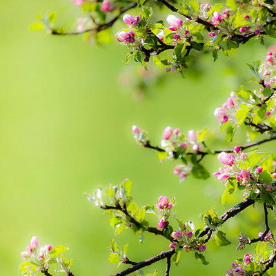 Cherry blossom - p6470063 by Tine Butter