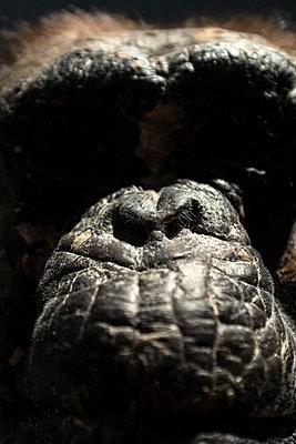 Nahaufnahme eines Gorilla-Gesichts - p795m2228816 von JanJasperKlein