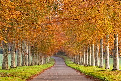 Avenue of colourful trees in autumn, Dorset, England, United Kingdom, Europe - p871m993817 by Adam Burton