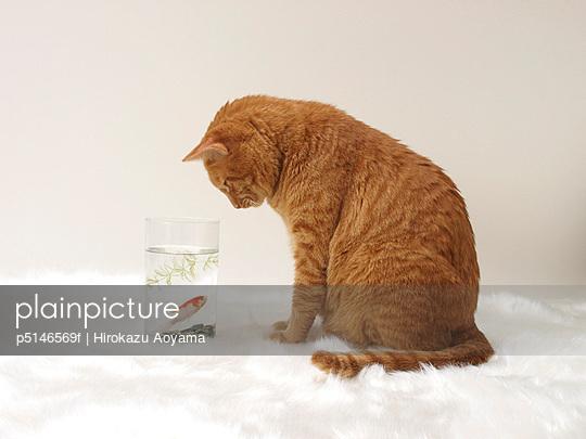 Ginger cat watching goldfish in bowl