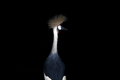 Grey crowned crane in front of black background - p300m1459863 by Michael Malorny