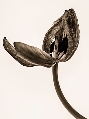 Faded Tulip - p401m2187123 by Frank Baquet