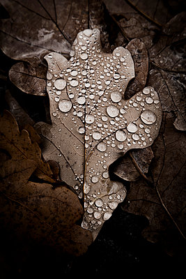 Tears on a oak leaf - p1062m1172168 by Viviana Falcomer