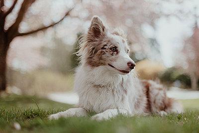 Red Merel Border Collie Puppy - p1166m2200321 by Cavan Images