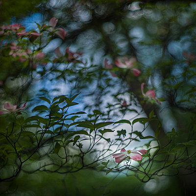 Pink Dogwood Tree Blossoms against Dark Blue Sky, Shallow Depth of Field - p694m2097228 by Lori Adams