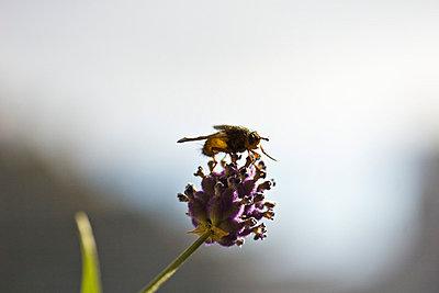 Biene auf Lavendel - p4170100 von Pat Meise