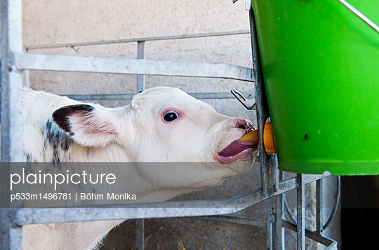 Drinking calf - p533m1496781 by Böhm Monika