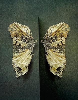 Dead leaf butterfly wings - p1228m2110864 by Benjamin Harte