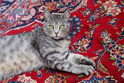 Gray cat on a red persian rug - p1540m2108978 by Marie Tercafs