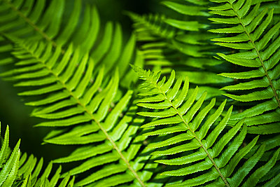 Sword fern fronds growing on Saddle Mountain; Elsie, Oregon, United States of America - p442m2032178 by Robert L. Potts