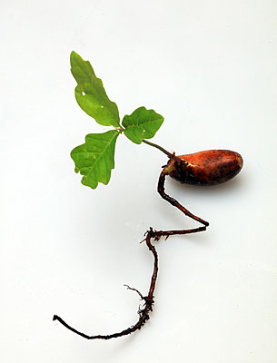 Acorn seedling - p1016m1511357 by Jochen Knobloch