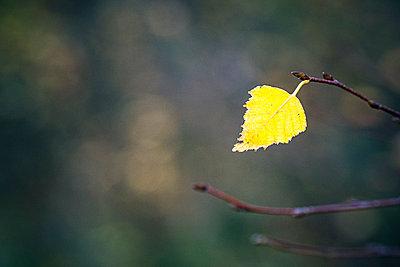 A single yellow autumn birch leaf on a twig - p1302m2230083 by Richard Nixon