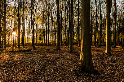 Forest at sunset - p312m1570655 by Fredrik Schlyter