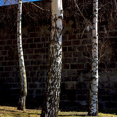 Birch trunks - p813m903910 by B.Jaubert