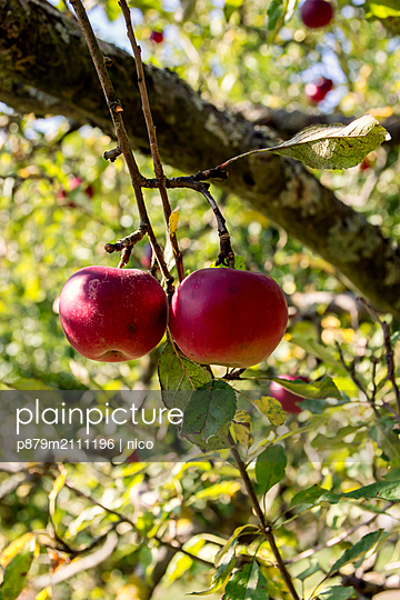 Ripe apples - p879m2111196 by nico