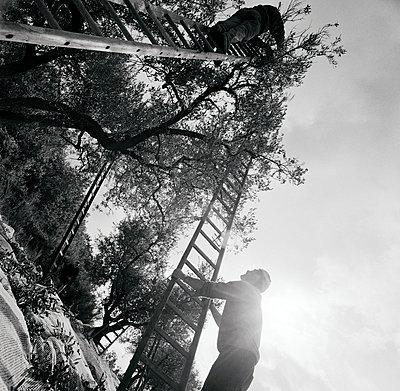 Olivenernte; Italien; Latium - p1016m815730 von Jochen Knobloch