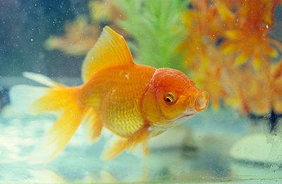 Goldfisch im Aquarium - p2370444 von Thordis Rüggeberg