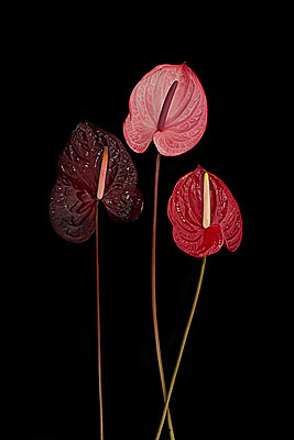 Flamingo flowers against black background - p1366m2260567 by anne schubert