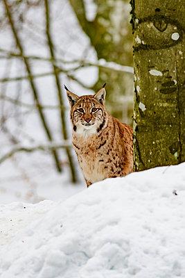 Luchs im Winter - p1463m2228527 von Wolfgang Simlinger