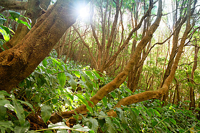 Portugal, Azores, Sao Miguel, Primeval forest at Lagoa Verde - p300m926600f by noonland