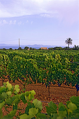 Vineyard in Spain - p8850242 by Oliver Brenneisen