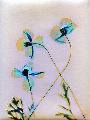 Dried poppies - p945m2279942 by aurelia frey