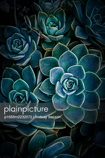 Succulents - p1655m2232072 by lindsay basson