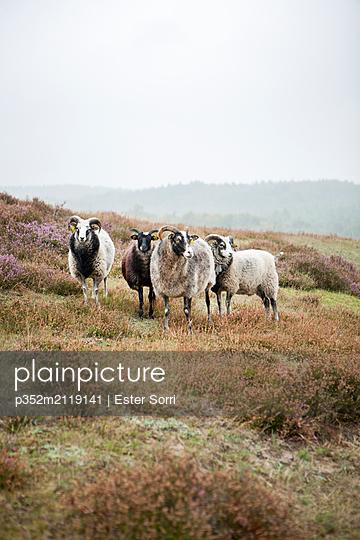 Sheep in pasture - p352m2119141 by Ester Sorri