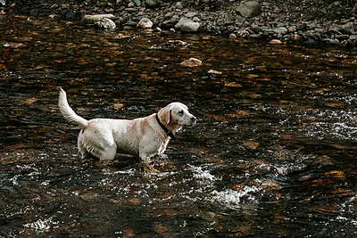 Golden Retriever in einem Fluss - p1085m1441418 von David Carreno Hansen