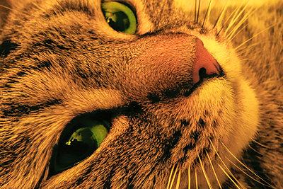 Cat - p1418m1571808 by Jan Håkan Dahlström